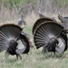 2014 Maine Turkey Season Outlook