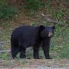 Maine Black Bear Vote 2015