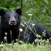 Maine Non Resident Bear Hunting Information