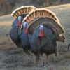 Maine's Spring Turkey Season Outlook 2016