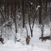 Why Do Deer 'Yard Up' in Winter?