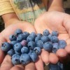 Finding Blueberries in Maine