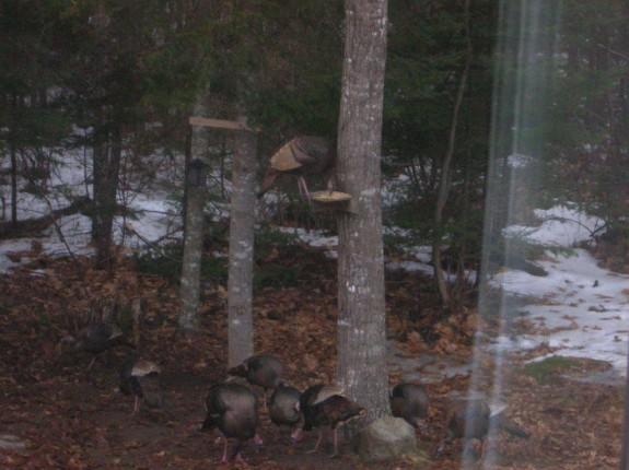 Hen Turkey at Feeder