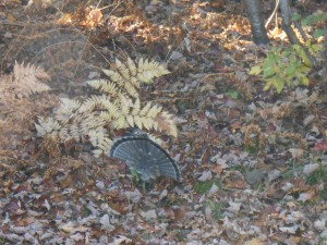 Maile Ruffed Grouse in Full Display