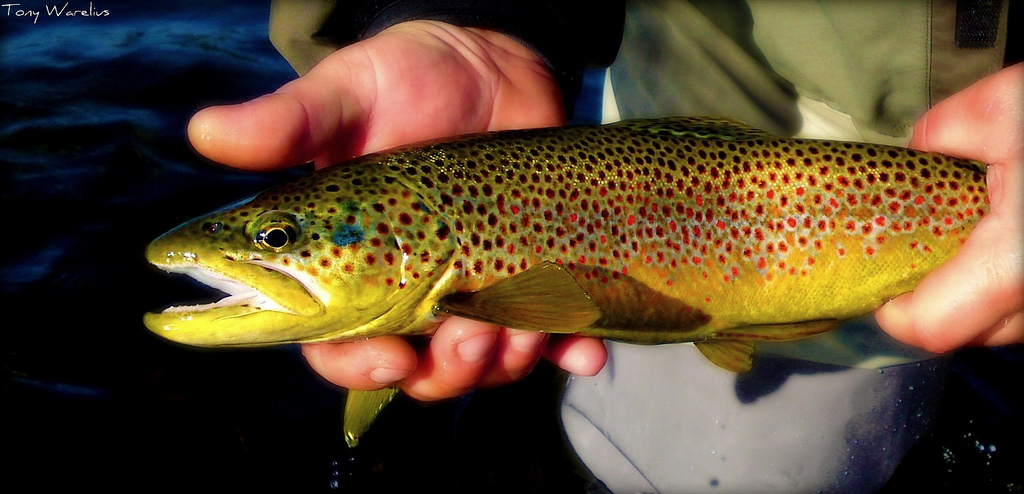 Fly fishing maine s moosehead lake region in autumn for Trout farm fishing near me